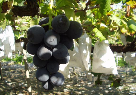 grape001